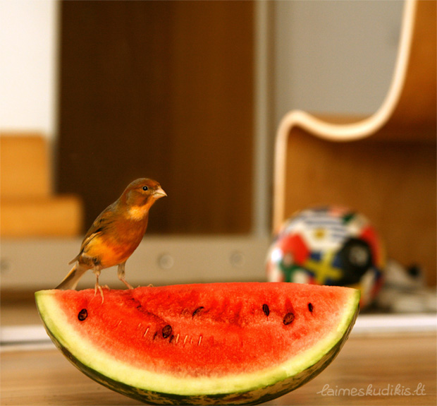 Feniksas ragauja arbūzą